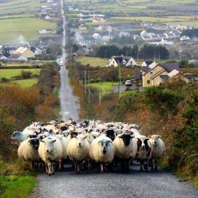 sheep roadblock
